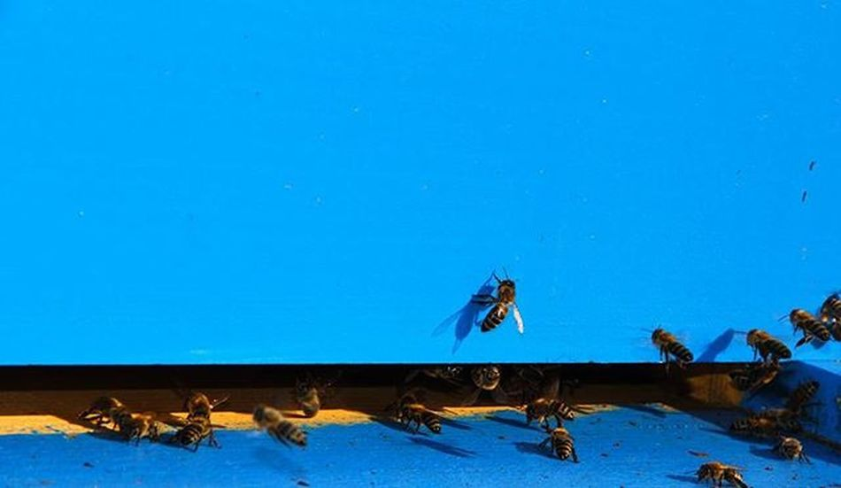 Koshere Blete Blu Bojqielli Api Kosherebletesh Bee