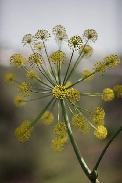 Apiales Portugal Thapsia Thapsia Villosa Alentejo Apiaceae Beauty In Nature Flower Flower Head Flowering Plant Fragility Freshness Growth Inflorescence Nature No People Perennial Plant Plant Stem Vulnerability  Yellow