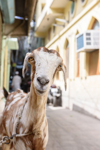Animals Posing Brown And White Goat Cuteness Daylight Domesticated Animal Tag Face Funny Goat Goats Head Goats Life Street Life Streetphotography Travel Destinations