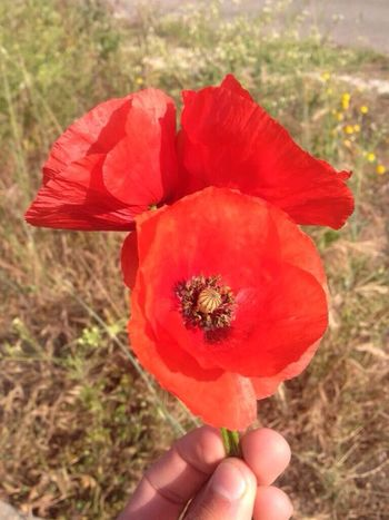 Corsica Flowers Coquelicot Hanging Out