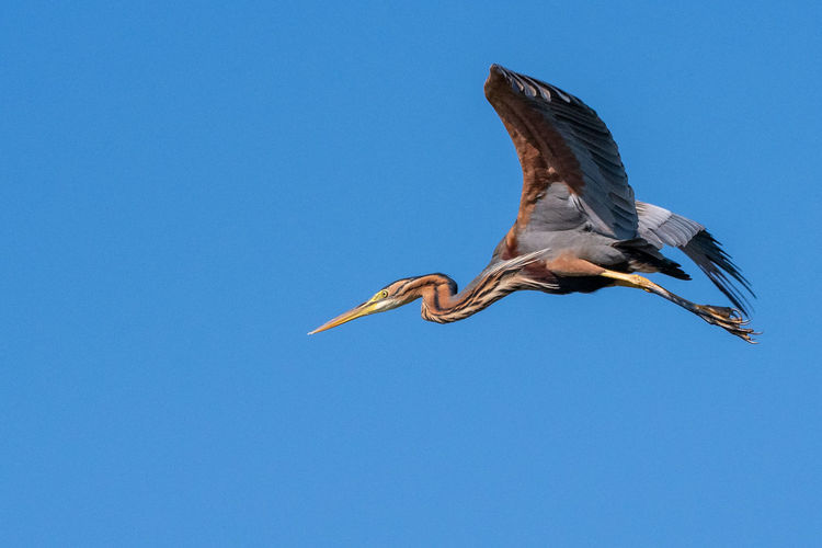 Purple heron Birds Of Africa Eyem Birds Animal Animal Themes Animal Wildlife Animals In The Wild Bird Birds In Flight Blue Clear Sky Copy Space Day Flying Heron Low Angle View Mid-air Motion Nature No People One Animal Outdoors Purple Heron Sky Spread Wings