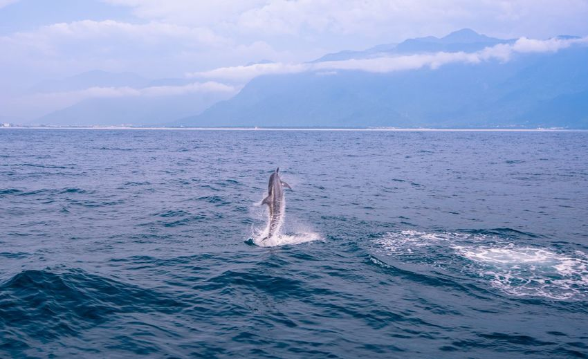 Dolphin Jumping In Calm Blue Sea