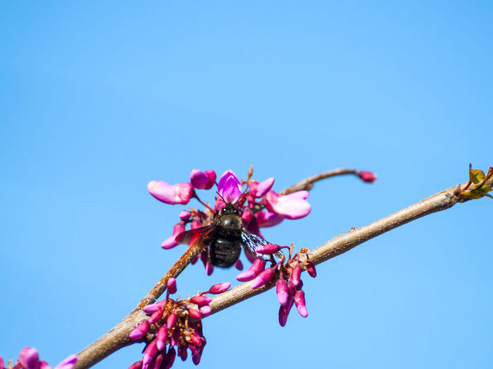Low Angle View Of Bee On Pink Flower Against Clear Blue Sky