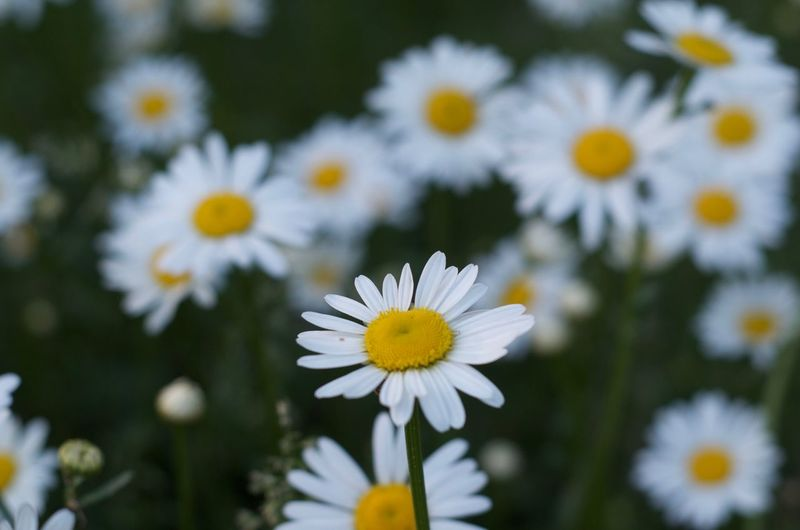 EyeEm Selects Flower Flowering Plant Freshness Plant Fragility Vulnerability  Petal Beauty In Nature Inflorescence Flower Head Daisy Growth Close-up White Color Pollen Nature Yellow No People Focus On Foreground Day