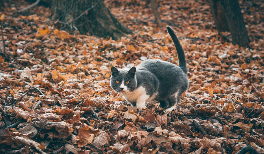 Cat lying on dry leaves on field