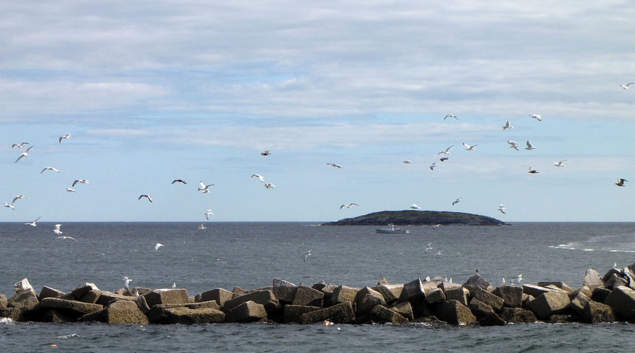 Animal Wildlife Animals In The Wild Beach Beauty In Nature Bird Day Flock Of Birds Flying Horizon Over Water Large Group Of Animals Maine Mid-air Nature No People Outdoors Rocky Scenics Sea Seagull Sky Spread Wings Togetherness Tranquility Water Wildlife