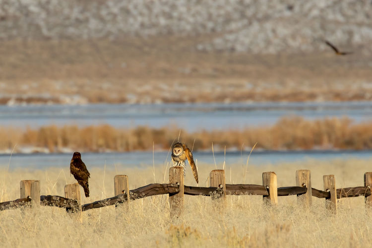 Barn owl,tyto alba, and a northern harrier, circus hudsonius, a fence in a grassy field.
