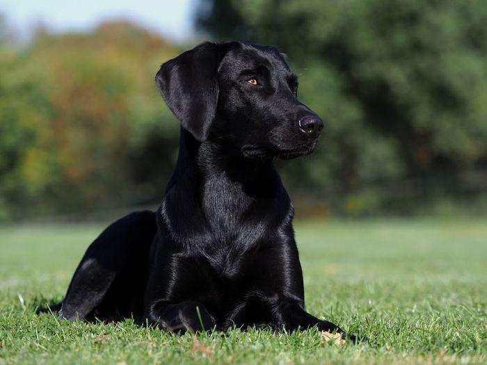 One Animal Animal Themes Mammal Animal Dog Canine Domestic Animals Grass Black Color Pets Nature No People Looking Labrador Retriever Black Labrador