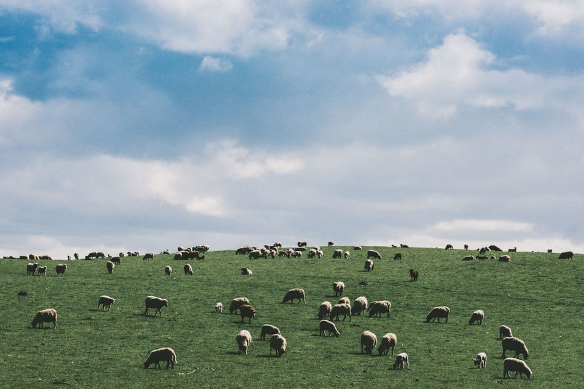 sheep rule the world. Agriculture Animal Themes Beauty In Nature Cloud - Sky Day EyeEm Gallery EyeEm Nature Lover Field Flock Of Sheep Grass Grazing Landscape Landscapes Large Group Of Animals Livestock Mammal Nature No People Outdoors Pasture Scenics Sheep Sky Beautifully Organized My Year My View The Great Outdoors - 2017 EyeEm Awards