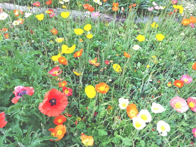 Opium Poppies Flower Beauty In Nature Blooming Springtime Flower Head Freshness Nature Growth Petal Fragility Field Plant No People Day High Angle View Poppy Outdoors Grass Green Color Yellow