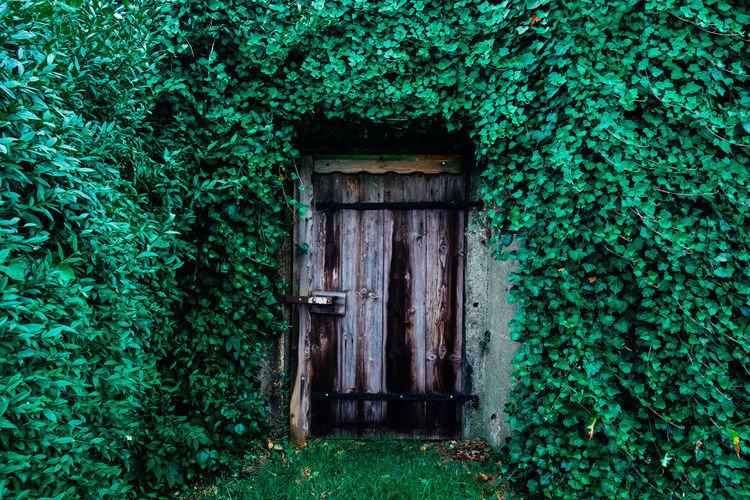 Ivy growing on door
