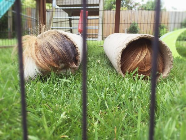 Hairy  Hairy Bottoms Bottom View Guinea Pig Guinea Pig Playing Guinea Pig In Tube Playing Won't Come Out Stubborn Week On Eyeem Pets Pet Photography  Pet Love Downton Wiltshire Wiltshire Life Salisbury Home Is Where The Art Is Two Is Better Than One