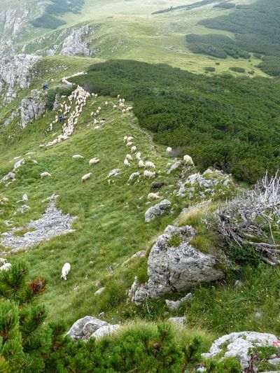 Flock of sheep in a natural park of the mountains of Montenegro Trekking Animal Themes Beauty In Nature Day Flock Of Sheep Grass Green Color Landscape Montenegro Wild Beauty Moutains Natural Parkland Nature No People Outdoors Scenics Summer Tranquil Scene Travel Destinations White Sheeps