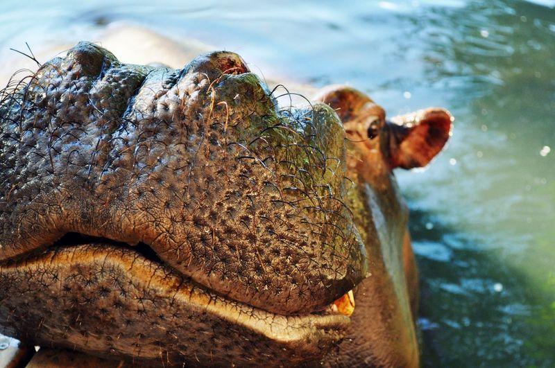 High angle view of hippopotamus swimming in lake