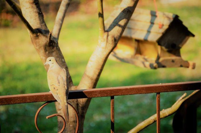 Bird Feeding Birds Birds In Nature Doves Doves, Birds Morning Dove Outdoors Tree
