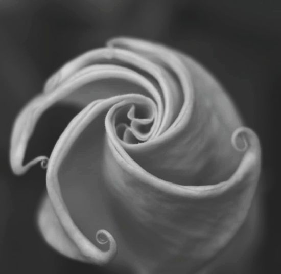 Blackandwhite B&w Photography Biancoenero Black & White Flower Head Flower Rose - Flower Petal Swirl Love Backgrounds Close-up Plant