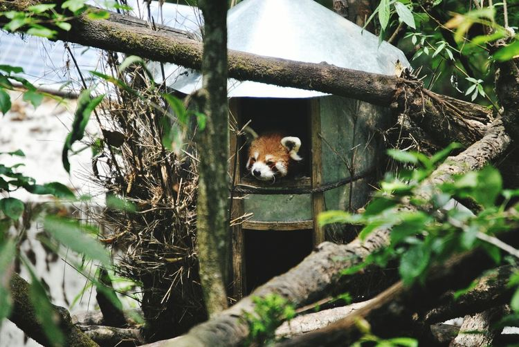 Red Panda Relaxing In Its Small House At Zoo Nature