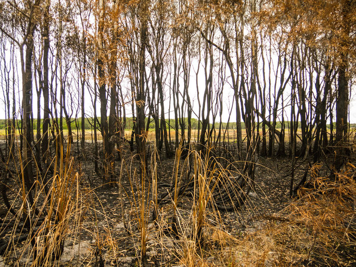 Burned Burnt Bushfire Day Growth Nature No People Outdoors Plant Tree Trees Water