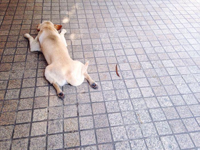 Happy Sleepy Relaxing Dog Cold Wind Cosy Lie Down On The Street White Dog Sleepy Relaxing Chill Out Easy Sleep True Tower Sleepy Joyful Dog Thai Street Dog Bangkok Ratchadapisek