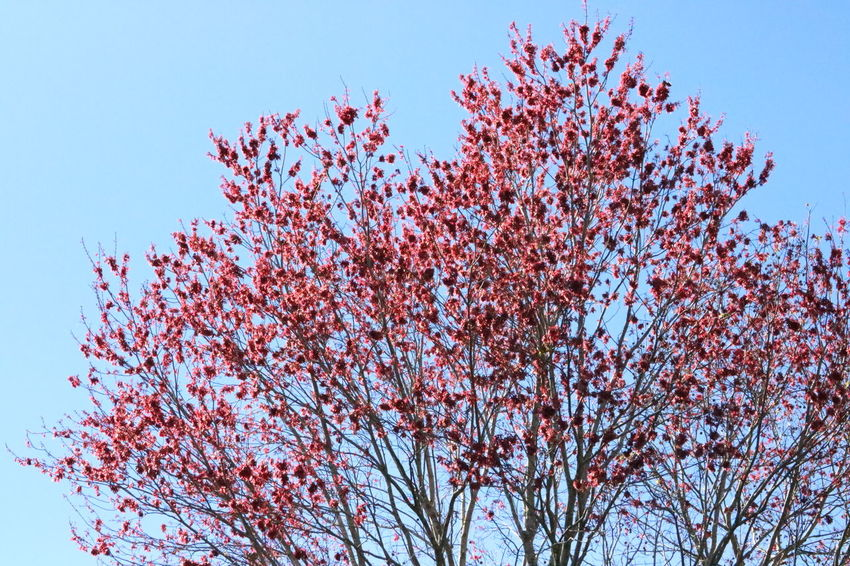 Blossoming Tree Blue Blue Sky Branches Heavens Nature Red Red Tree Tree