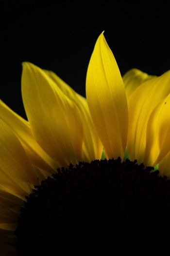 Flower Petal Fragility Growth Beauty In Nature Yellow Freshness Flower Head Nature Botany Plant No People Close-up Outdoors Sunflower Soft Focus Day Blooming Sky Neon Life Shining Beautiful Nature Fuji X-t2 EyeEmNewHere