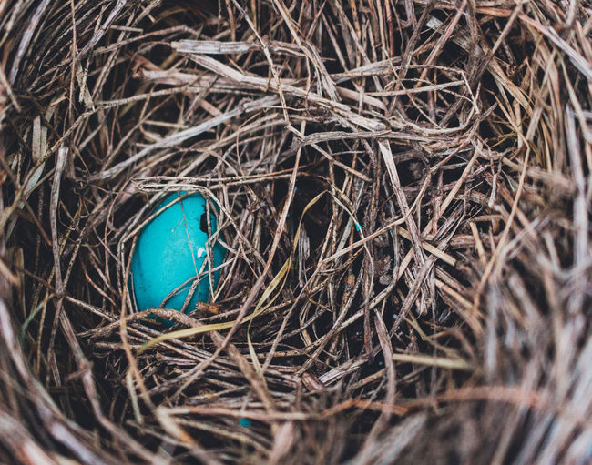 Animal Nest Animal Themes Beginnings Bird Bird Nest Blue Close-up Day Fragility Nature New Life No People Outdoors Robin Break The Mold