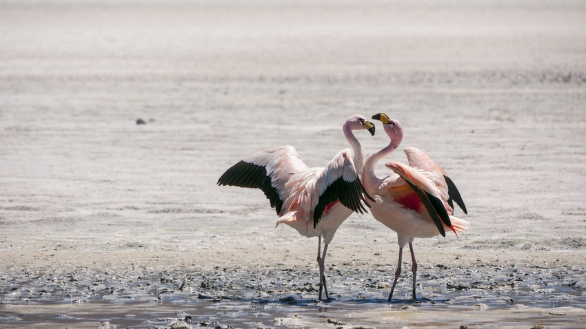 A Pair Of Flamingoes Animal Themes Animal Wing Animals In The Wild Beauty In Nature Bird Bolivie Chaxa Chile Fenicottero Fenicotterorosa Flamant Flamenco Flamencos Flaming Flamingo Flamingos Lagoon Laguna Outdoors Rosa Water Bird Wildlife Zoology фламинго флами́нговые