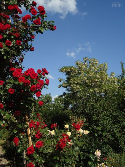 Предположу, розы Симпати./ These must be Sympathie Roses. розы Новороссийска