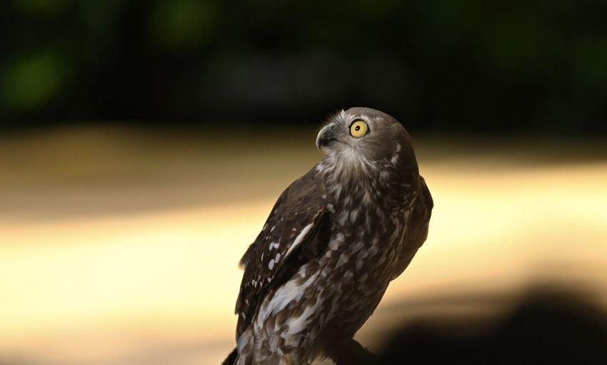 Barking owl looks up