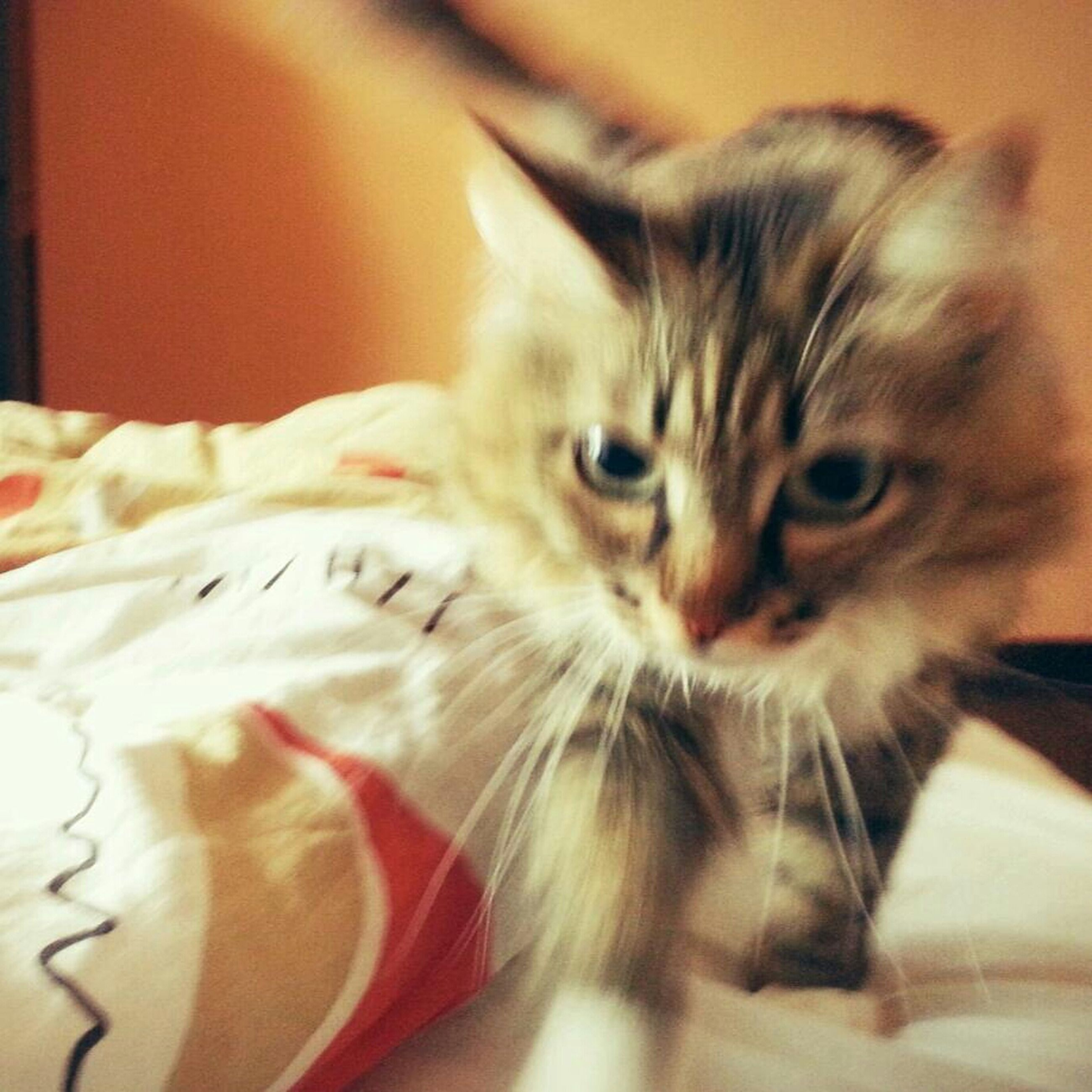 domestic cat, indoors, pets, animal themes, domestic animals, cat, one animal, feline, mammal, whisker, portrait, home interior, relaxation, looking at camera, close-up, focus on foreground, bed, selective focus, kitten, home