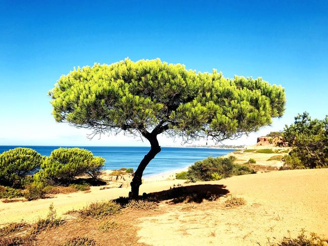 Baum, Strand, Portugal, blauer Himmel, Klippen, Schatten, Sand, Entspannung, Ruhe, Frieden, Sommer, leuchtendes Grün, blaues Meer Portugal Sky Plant Tree Land Growth Nature Beach Tranquility Beauty In Nature Tranquil Scene Clear Sky Sea Water Sand Day Scenics - Nature No People Sunlight Outdoors