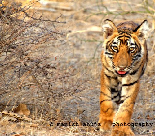 Young and wild Tiger Tigers Cub Wild India Wild Animal Ranthambore National Park Ranthambore Wild Life Photograph