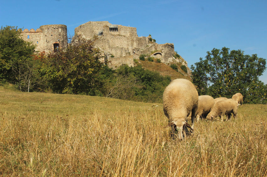 Grazing Ruins Of A Castle Ancient Rome Animal Animal Themes Animal Wildlife Architecture Building Exterior Built Structure Devin Castle Domestic Animals Fortress Grass Group Of Animals Herbivorous Historical History Medieval Medieval Castle Nature No People Old Castle Outdoors Sheep Sky EyeEmNewHere