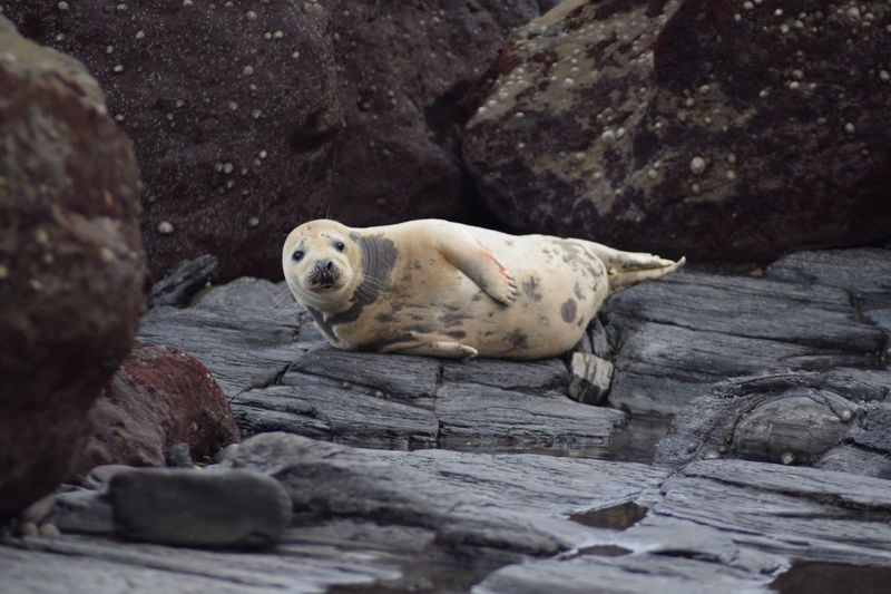Portrait of seal on rock