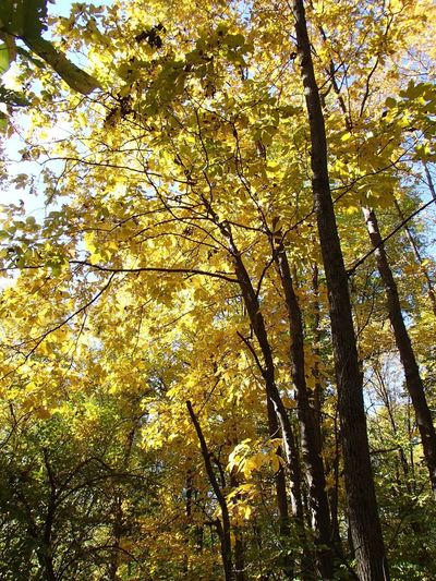 Couleurs d'automne - Fall Colors Autumn Fall Colors Foliage Tree Plant Low Angle View Beauty In Nature Growth No People Backgrounds Nature Sunlight Outdoors Forest Yellow Tree Canopy