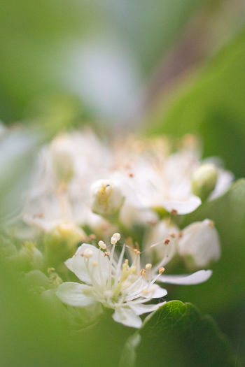 You don't need to go far to enjoy nature, here are the pretty flowers of a firethorn hedge on day 2 of #30DaysWild. 30dayswild Beauty In Nature Blossom Close-up Flower Flower Head Nature Outdoors Petal Plant White
