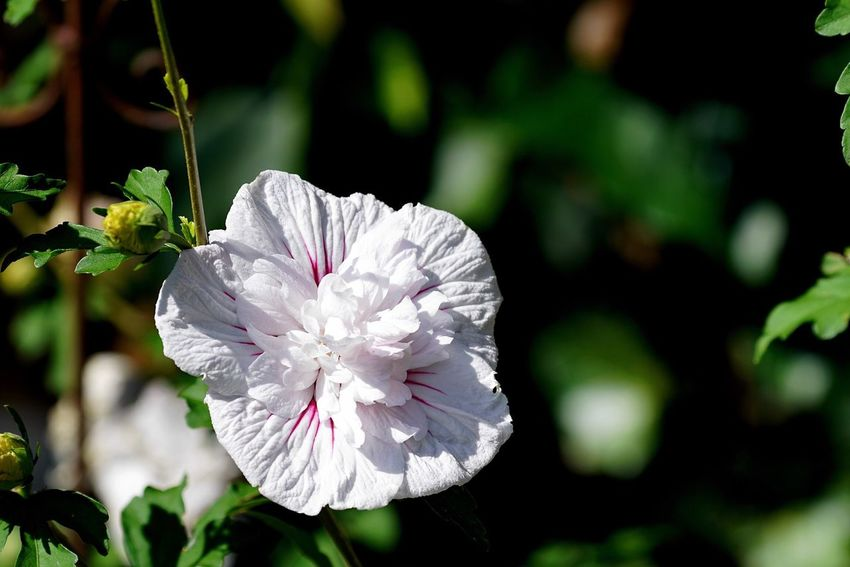 Flower Growth Petal Nature Plant Blossom Focus On Foreground Flower Head Close-up Fragility No People Day Beauty In Nature Outdoors Blooming Freshness Hibiscus Blossoms