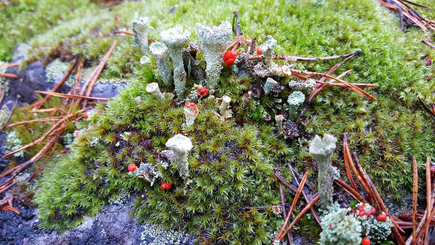 Nature colors Nature Outdoors Beauty In Nature Fragility Autumn Fall Autumn Colors Norway Forest Beauty In Nature Nature Nature Art. Nobody Does It Better! Close-up Moss Moss And Lichen british soldier lichen British Soldier Perspectives On Nature