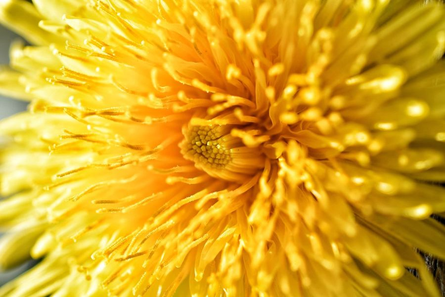 Dandelion Flowering Plant Flower Freshness Fragility Close-up Plant Vulnerability  Petal Yellow Flower Head Inflorescence Beauty In Nature Full Frame Growth Nature