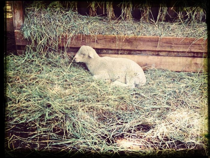 So cute!! Love her! Taking Photos Lamb Omgsocute