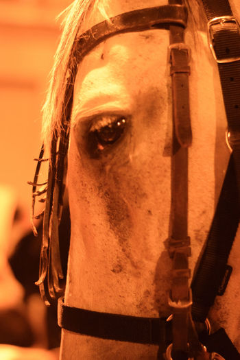 Animal Themes Animals In The Wild Animals Horse Horses Horse Photography  Horseshoe Lifestyle Festival Love Historical Eyelash Human Eye Portrait Human Face Beauty Headshot Hazel Eyes  Eyeball Iris - Eye Working Animal Horseback Riding Stable Foal Bridle Sensory Perception