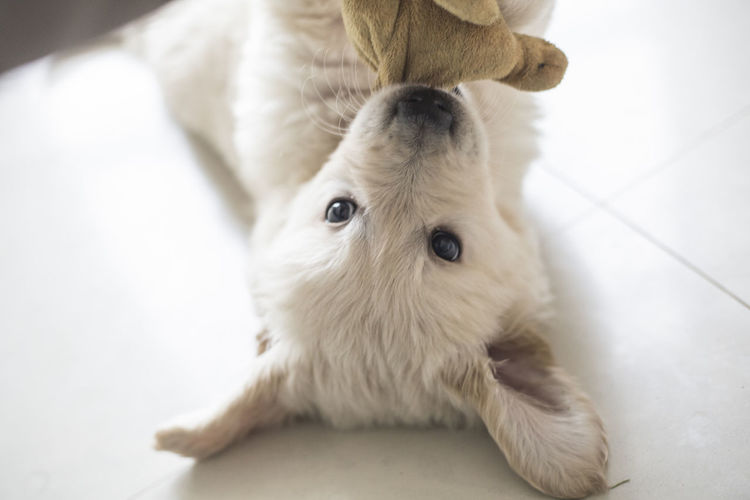 Mammal Animal Themes Domestic Pets Animal One Animal Domestic Animals Indoors  White Color Close-up Vertebrate No People Flooring Canine Dog Looking At Camera Portrait Home Interior Cute Selective Focus