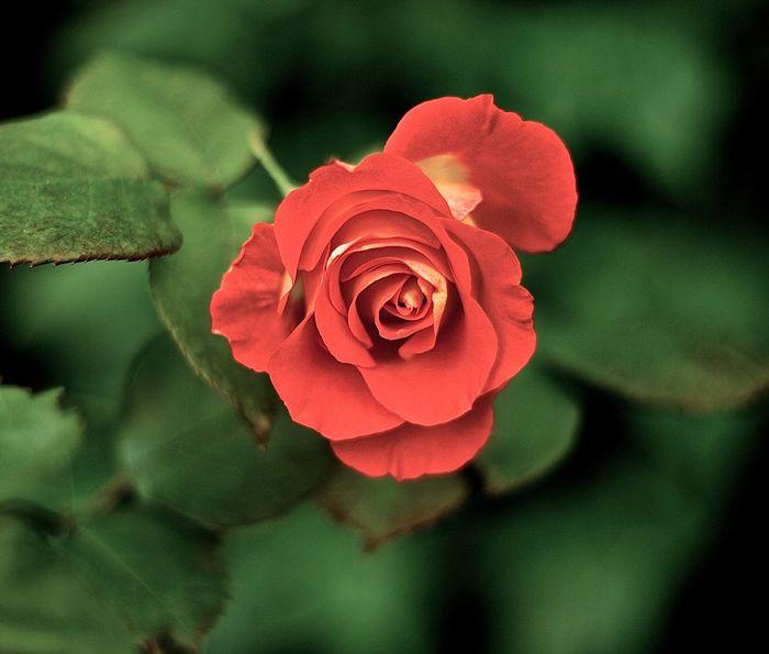 Rosé One Rose Red Flower Rosé Red Rose Flower Head Flower Petal Rose - Flower Leaf Close-up Plant Wild Rose In Bloom Blossom Single Rose
