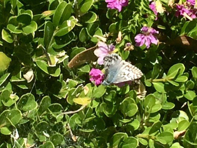 Butterfly Bush 🌈