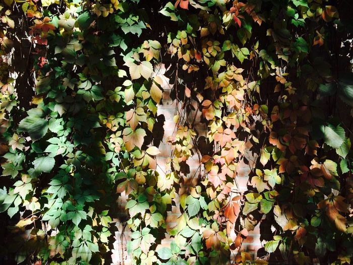 The Mix Up Leaves Leaves Shadow LeavesChanging Autumn Colors Autumn Autumn Leaves Autumn Collection Autumn Moments Showcase June IPhone Photography