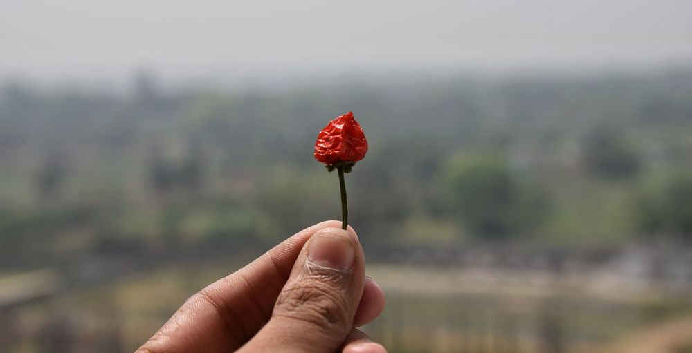 Cropped hand of person holding red chili pepper against sky