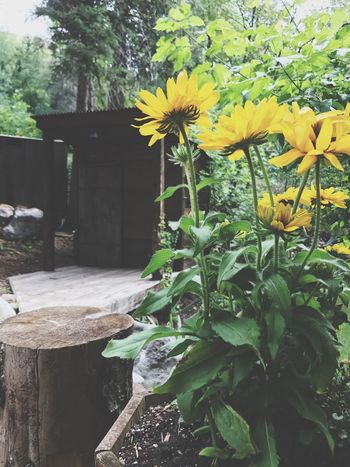The moment the flowers can grow bigger then the cabin... Flower No People Growth Plant Nature Outdoors Day Yellow Leaf Beauty In Nature Freshness Fragility Tree Close-up Flower Head
