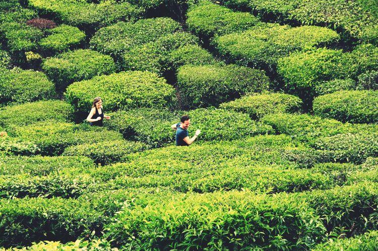India Munnar Tea Plantation