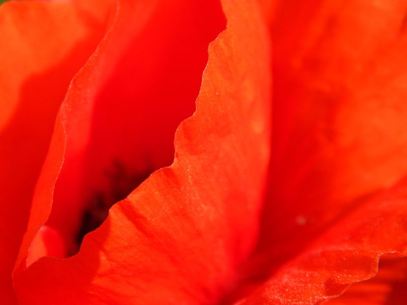 common poppy Backgrounds Beauty In Nature Close-up Colour Colour Of Life Colourful Colours Colours Of Nature Common Poppy Corn Poppy Flower Flower Head Fragility Full Frame Klatschmohn Monochrome _ Collection Monochrome Photography Nature No People Petal Red Red Red Color Red Flower Vibrant Color