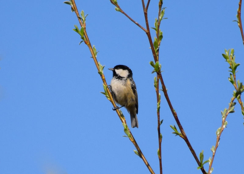 Animal Animal Themes Animal Wildlife Animals In The Wild Beauty In Nature Bird Blue Branch Clear Sky Copy Space Day Low Angle View Nature No People One Animal Outdoors Perching Plant Sky Tree Vertebrate